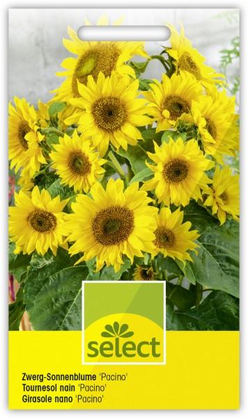 Sonnenblume 'Pacino' - Vorderseite