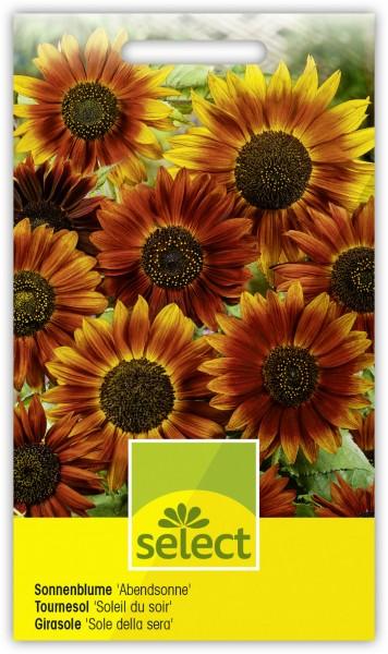 Sonnenblume 'Abendsonne' - Vorderseite