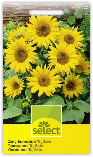 Sonnenblume 'Big Smile' - Vorderseite