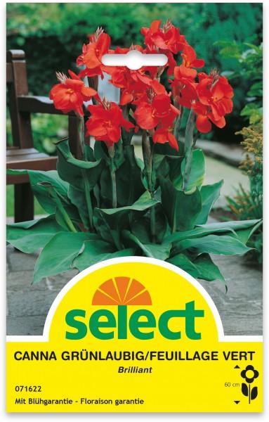 Canna indica 'Brilliant' - Indisches Blumenrohr