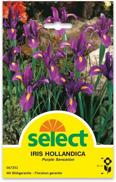 Holländische Iris 'Purple Sensation'