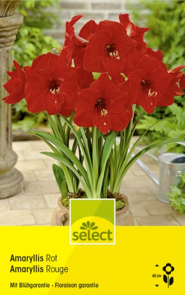 pho_074030_Amaryllis_R01ZC_Cappers_Select_wyss_Zomer_0262