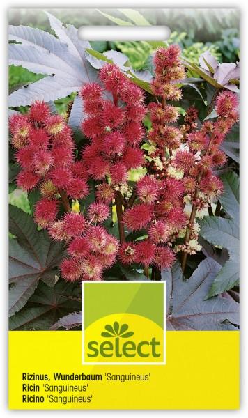 Wunderbaum 'Carmencita' - Vorderseite