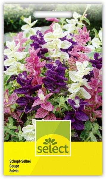 Schopf-Salbei - Salvia viridis