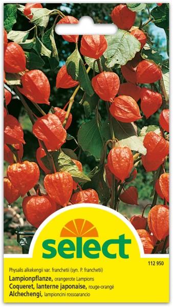 Lampionpflanze