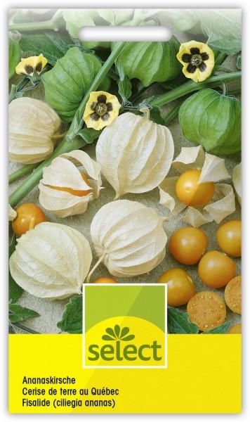 Ananaskirsche - Physalis pruinosa