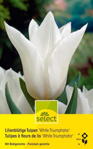Tulipes à fleurs de lis 'White Triumphator'