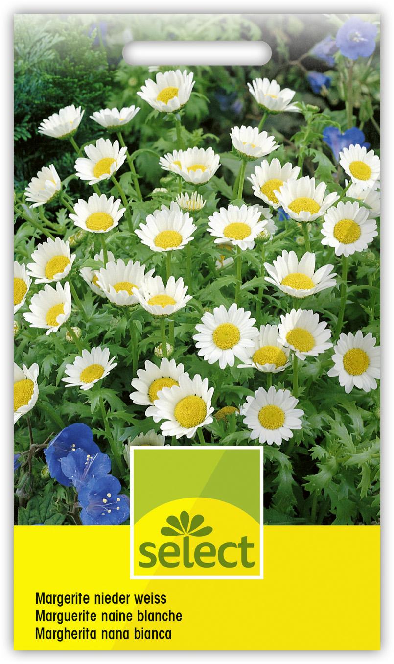 40 Samen weiße  Margerite mehrjährig  Chyrsanthemum  Stauden Schnittblume ca