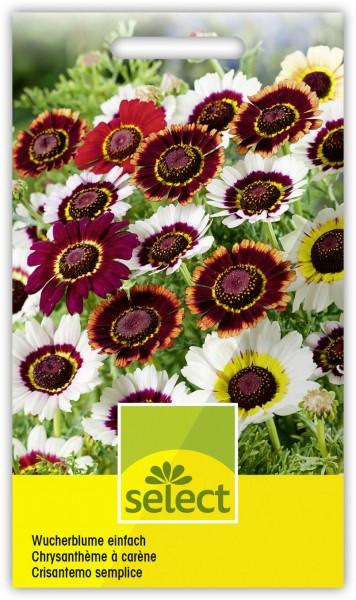 Einfache Wucherblume 'Frohe Mischung' - Vorderseite
