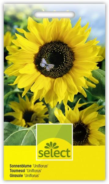 Sonnenblume 'Uniflorus' - Vorderseite