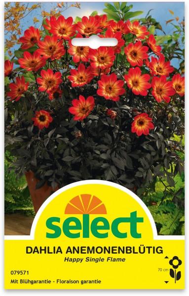 Dahlia à fleurs d'anémone 'Happy Single Flame'