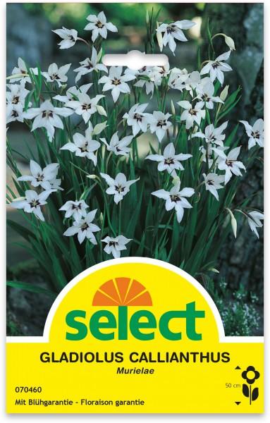 Florifère - Gladiolus callianthus (Acidanthera)