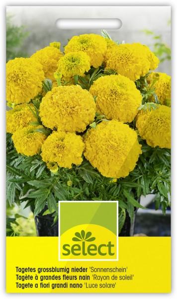 Grossblumige Sammetblume 'Sonnenschein' - Vorderseite