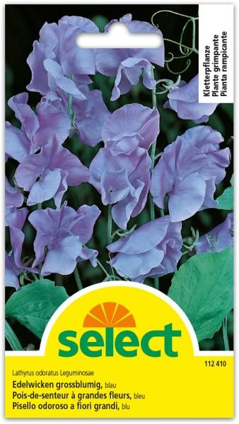 Pois-de-senteur à grande fleurs, bleu