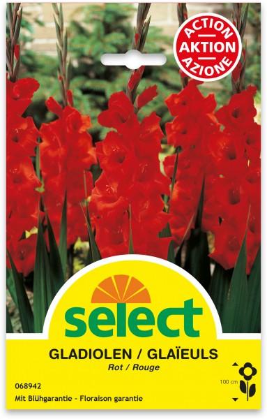 Gladiolen, rot, Grosspackung