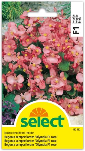 Begonia 'Olympia F1 rose'
