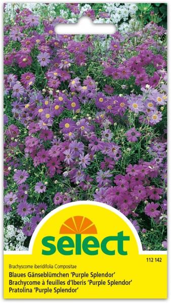Blaues Gänseblümchen 'Purple Splendor'