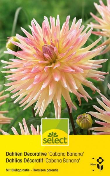 Dahlia cactus 'Fringed Star'
