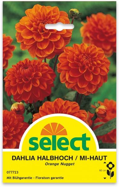 Halbhohe Dahlie 'Orange Nugget'