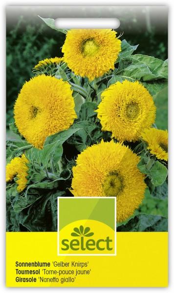 Sonnenblume 'Gelber Knirps' - Vorderseite