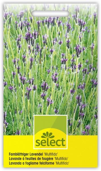 Farnblättriger Lavendel 'Multifida' - Lavandula multifida