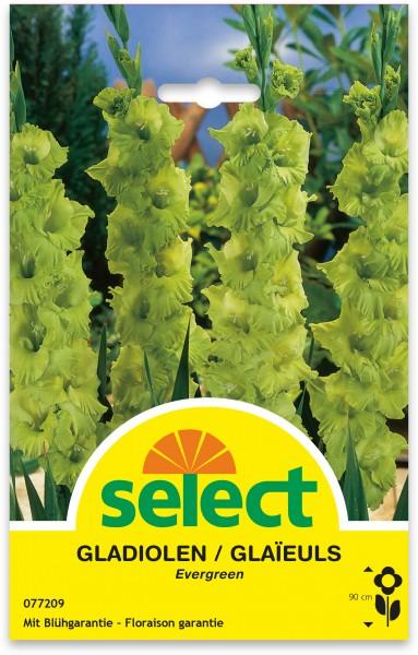 Gladiolen 'Evergreen'