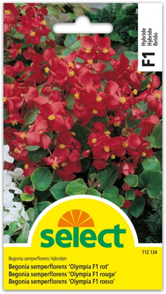 Begonia 'Olympia F1 rouge'