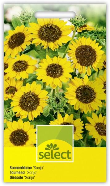 Sonnenblume 'Sonja' - Vorderseite
