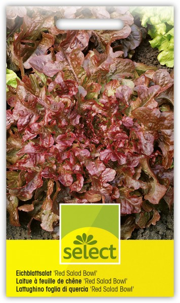 Eichblattsalat 'Red Salad Bowl' - Lactuca sativa var. crispa