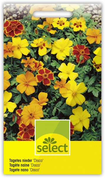 Tagetes nieder 'Disco' - Tagetes patula