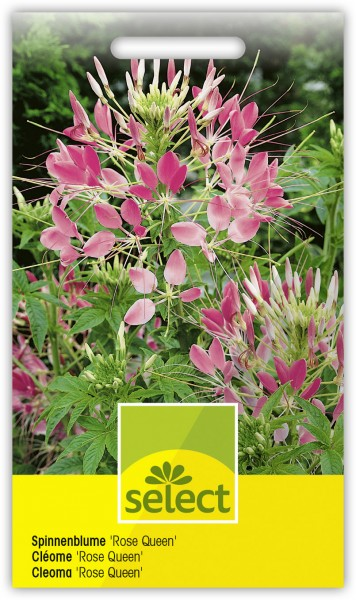 Spinnenblume 'Rose Queen' - Cleome hassleriana