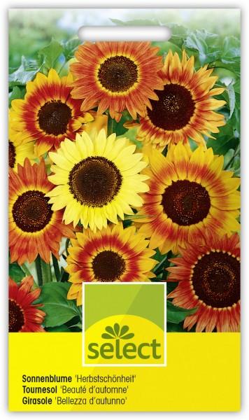 Sonnenblume 'Herbstschönheit' Mischung - Vorderseite