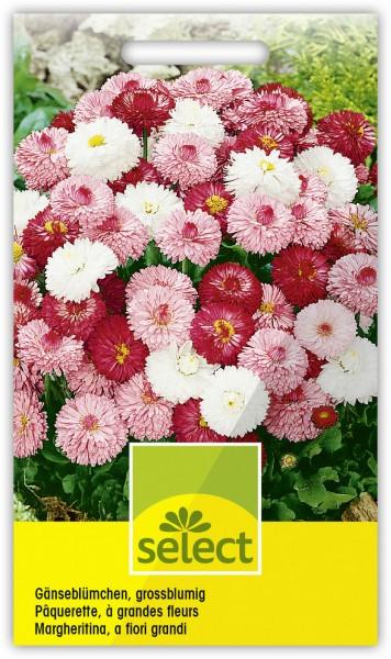 Gänseblümchen, gefüllt, grossblumig, Prachtmischung - Vorderseite
