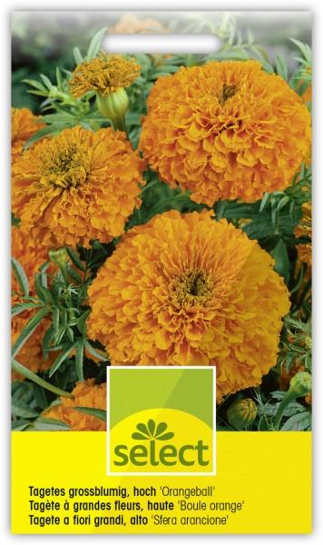 Tagetes grossblumig, hoch 'Orangeball' - Tagetes erecta