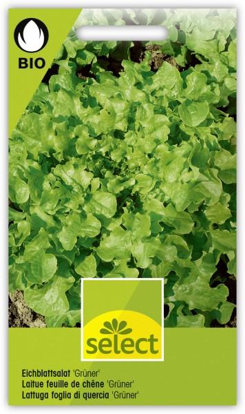 Eichblattsalat 'Grüner' - Lactuca sativa L. var. crispa