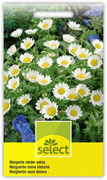 Margerite nieder weiss - Chrysanthemum paludosum