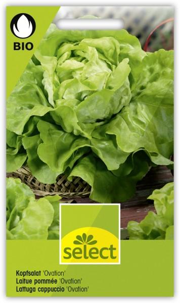Kopfsalat 'Ovation' - Lactuca sativa var. capitata