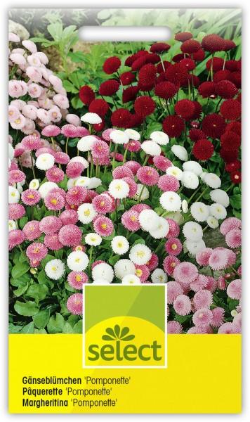 Gänseblümchen 'Pomponette', gefüllt, kleinblumige Mischung - Vorderseite