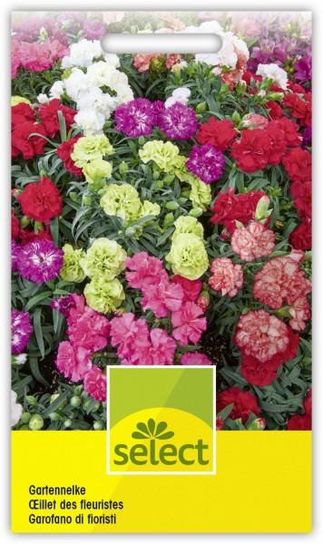 Gartennelke - Dianthus caryophyllus