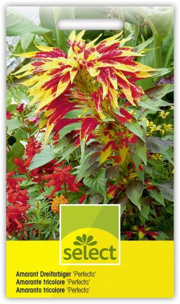Dreifarbiger Amaranthus 'Perfecta' - Vorderseite