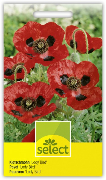 Klatschmohn 'Lady Bird' - Papaver commutatum