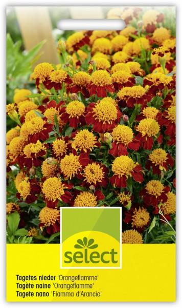 Niedere Sammetblume 'Orangeflamme' - Vorderseite