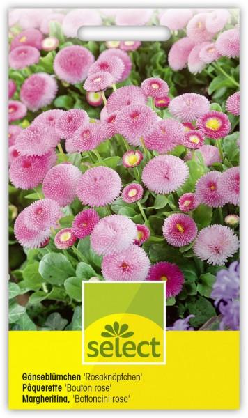 Gänseblümchen 'Rosaknöpfchen', gefüllt, kleinblumig - Vorderseite