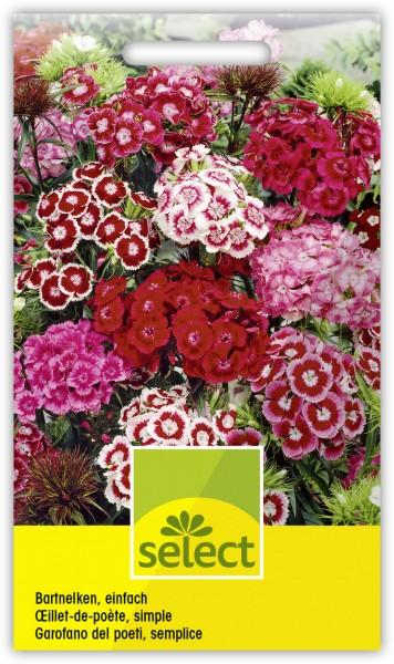 Bartnelken, einfach - Dianthus barbatus