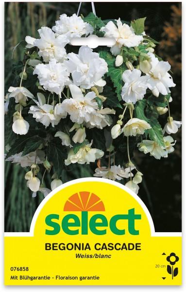 Bégonia 'Cascade', blanc