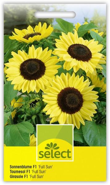 Sonnenblume 'Full Sun F1' - Vorderseite