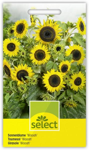 Sonnenblume 'Waooh' - Vorderseite