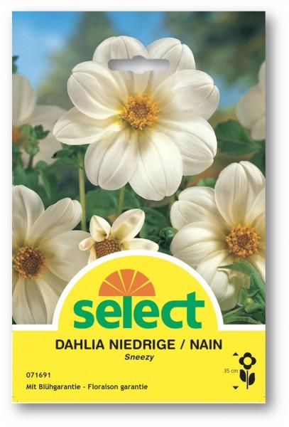 Dahlia pour massifs 'Sneezy'