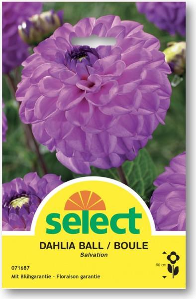 Dahlia boule 'Salvation'