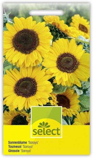 Sonnenblume 'Soraya' - Helianthus annuus